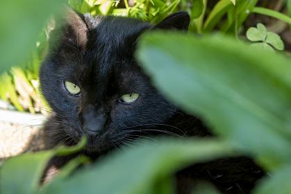 初夏の草むらに隠れにらむ黒猫