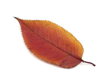 紅葉したサクラの葉
