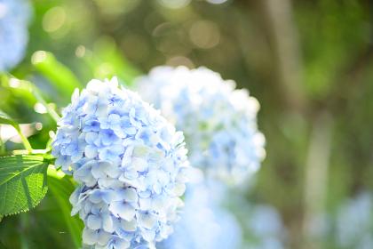 梅雨の晴れ間に咲く満開の紫陽花
