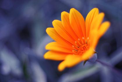 オレンジ色のガザニア
