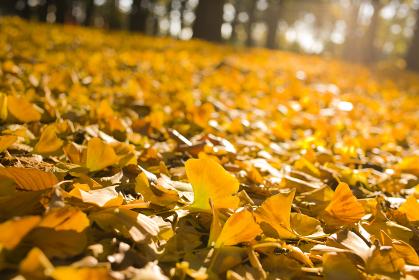 秋の森 イチョウ