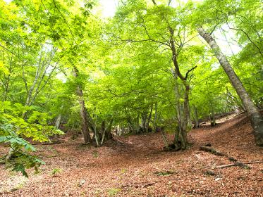 去年の落ち葉の森が新緑に燃える