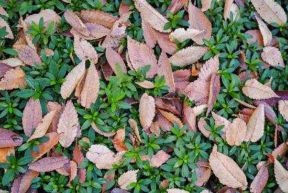 イヌツゲの生垣の上に散った茶色い落葉