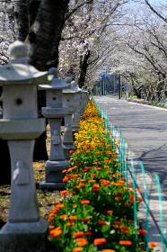 満開の桜が咲く季節の知覧平和公園「縦構図」