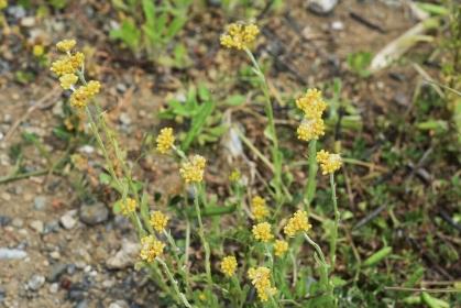 ハハコグサ(母子草)・春の七草 ゴギョウ・若葉食材