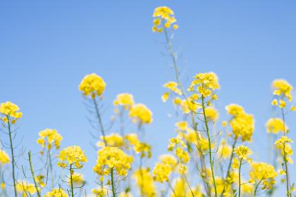 春の明るい菜の花畑