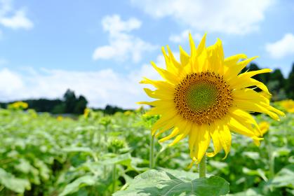 正面を向く向日葵の素材