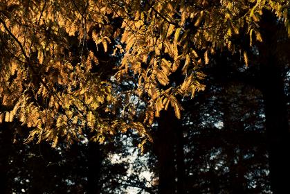 紅葉した針葉樹と日の光
