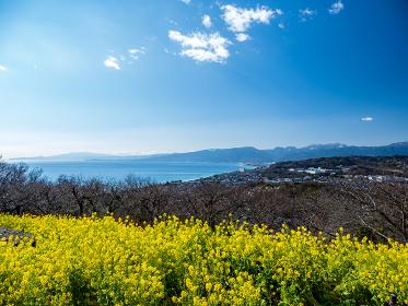 吾妻山公園の菜の花と相模湾の風景 1月