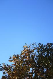 青空とメタセコイア 1 縦位置