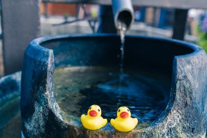 温泉に浮かぶアヒル