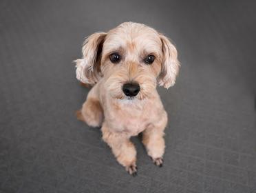 マルプー かわいい小型犬