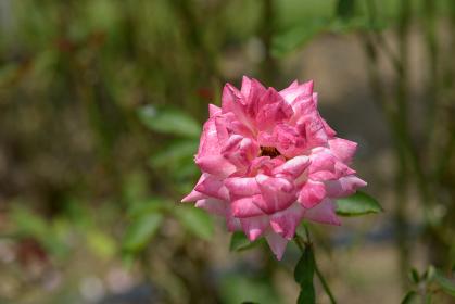 聖火 バラの花