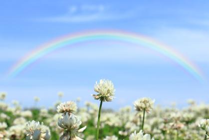 シロツメクサと空にかかる大きな虹 1