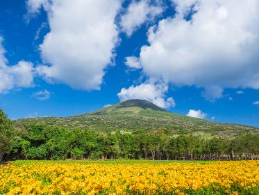 青空ひろがる八丈島の八丈富士と黄色いフリージアの風景 3月