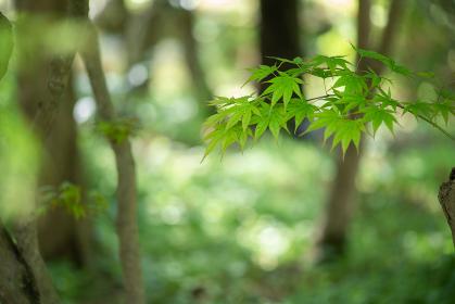 新緑の紅葉 4月