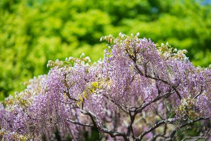 新緑の木々と満開の藤の花 4月