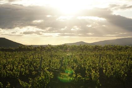朝日に輝く葡萄畑