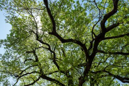 青空に大きく枝を伸ばした新緑の木 4月