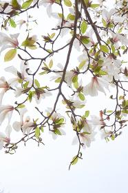 白いコブシの花のクローズアップ 白背景