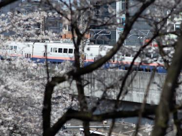 満開のサクラと新幹線 飛鳥山公園 3月