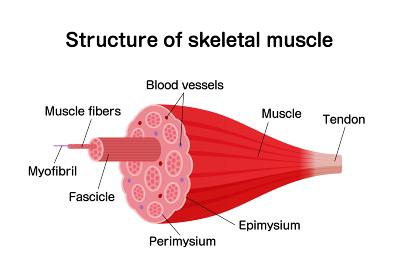 骨格筋の構造と名称 / 断面図 ベクターイラスト