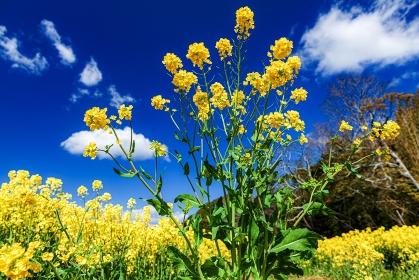 静岡県・磐田市 桶ヶ谷沼の菜の花