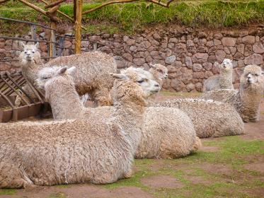 ペルー・クスコ近郊のアルパカ牧場でのんびり座っている複数の白いアルパカ