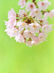 桜の花のクローズアップ 緑色背景