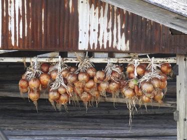 小屋に吊り下げた玉葱