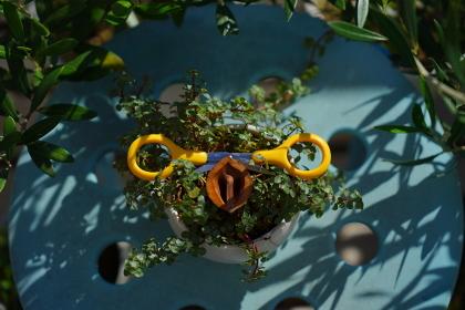 ブタの顔に見える観葉植物プミラ屋外