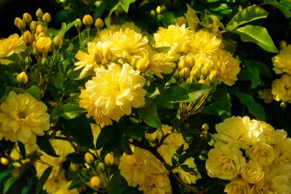 春の光に輝く、美しい満開のモッコウバラ