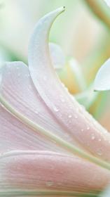 リコリスの花びらのクローズアップ