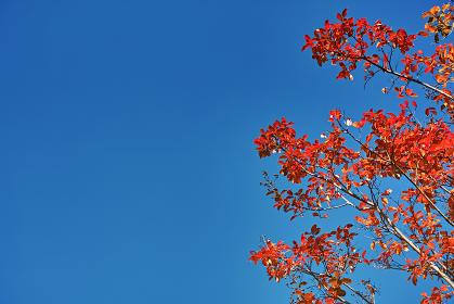 青空背景の下から見上げた右側に実のついたサルスベリの紅葉