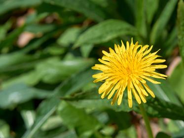 一輪のタンポポの花