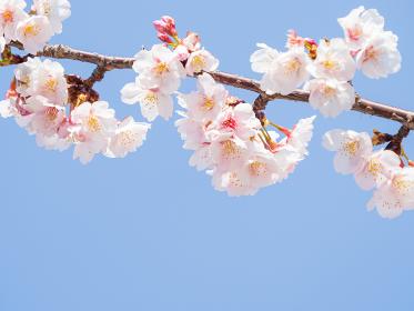 やわらかい春の日差し中で咲くサクラの花 3月