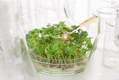 シャーレで育つ野菜