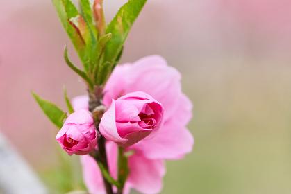 桃の節句 桃の花(ハナモモ)のアップ