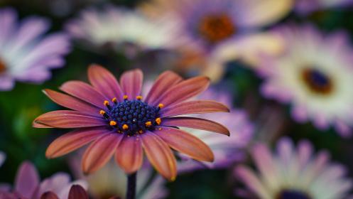 ダークオレンジ色の花、オステオスペルマム(アフリカキンセンカ、アフリカンデージー)
