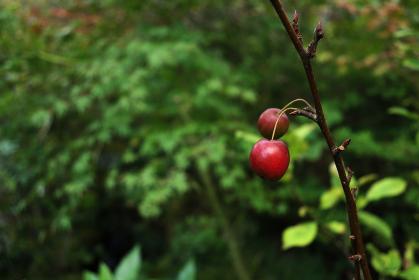 リンゴのような赤い小さな実 2