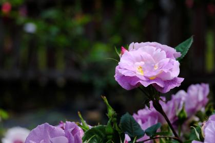 元気に育つ紫色の薔薇