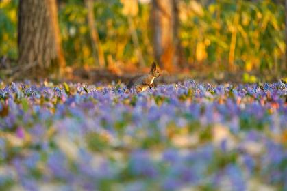 春のエゾリス