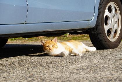 駐車場でひなたぼっこをする茶トラの猫