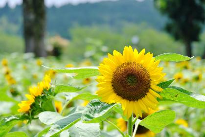 晴れの日に咲いた鹿児島市都市農業センターのヒマワリ