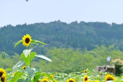 向日葵畑で一本だけ背が伸びた大きなヒマワリ