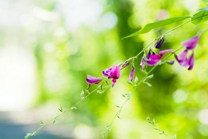 秋の花 ミヤギノハギ