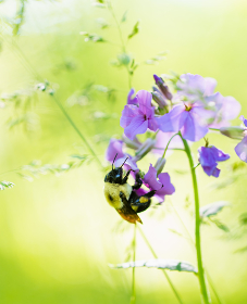 Close up of a bee collecting pollen from a purple flower on sunny day.