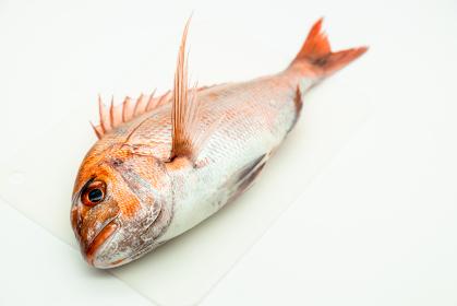 鹿児島県産の天然真鯛