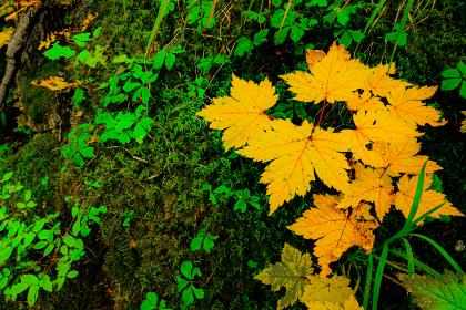 黄色と緑のもみじ