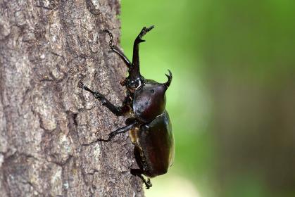 樹液を求めて木を登るカブトムシ 昆虫 虫 甲虫 夜行性 成虫 生物 夏休み むし オス かぶとむし